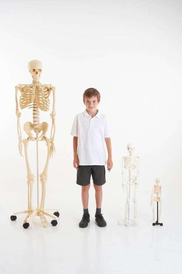 Life-Size Skeleton 160cm