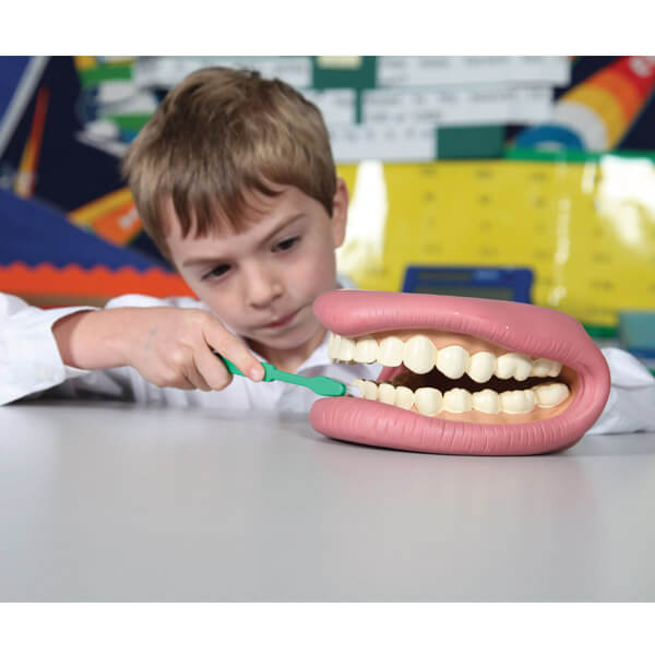 Giant Teeth Demonstration Model