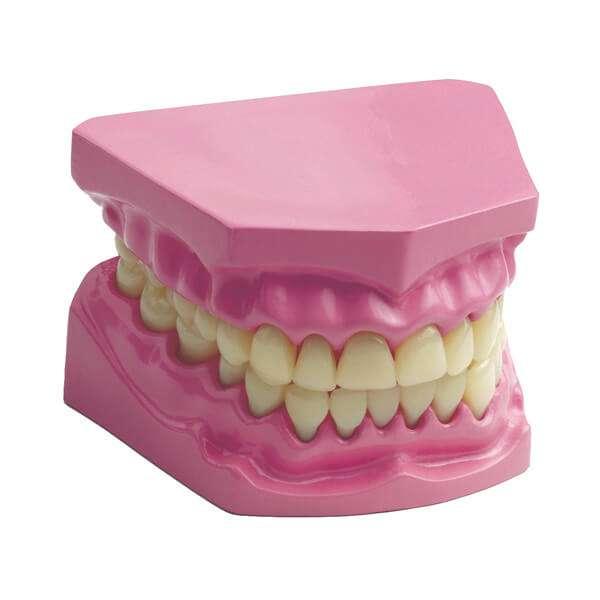 Anatomical Teeth Dental Set